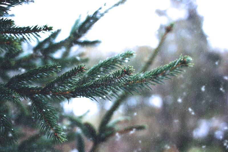 Ramos de árvore do abeto fotografia de stock royalty free