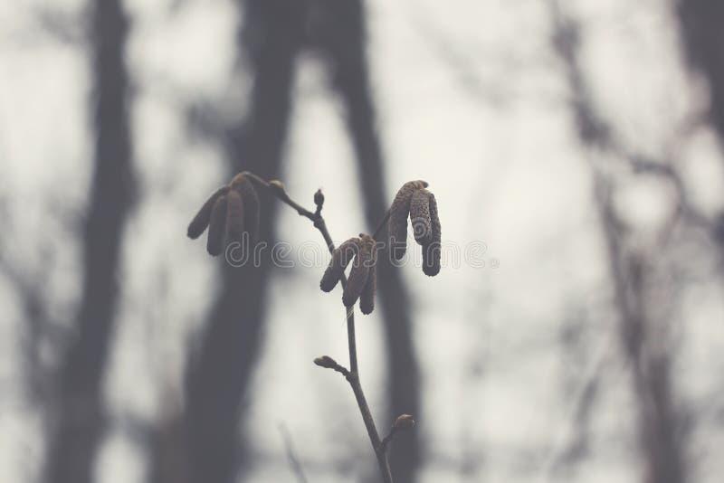 Ramos de árvore do amieiro com amentilhos foto de stock