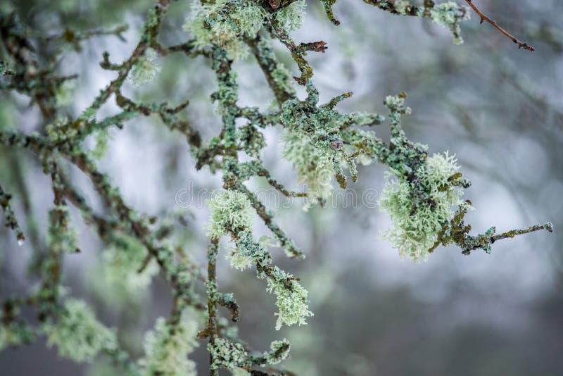 Ramos de árvore do detalhe da natureza com musgo imagem de stock