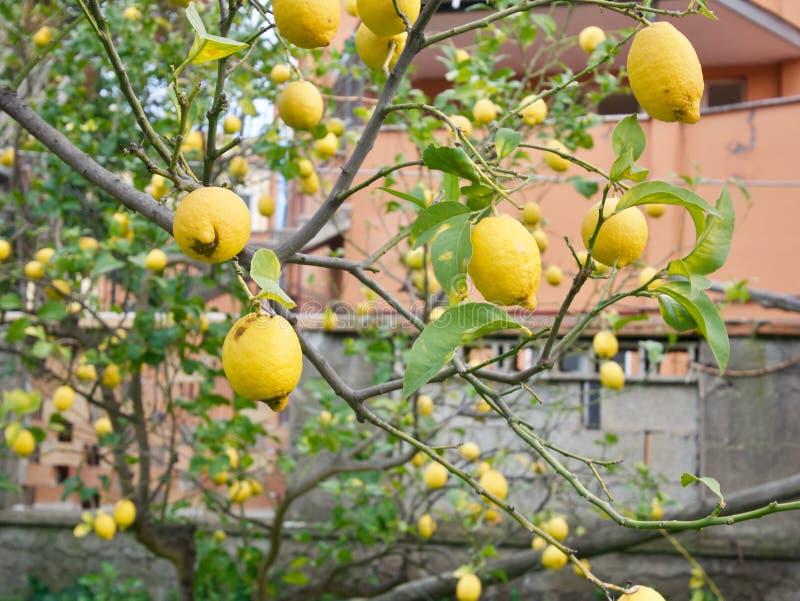 Ramos de árvore do limão com frutos fotos de stock royalty free