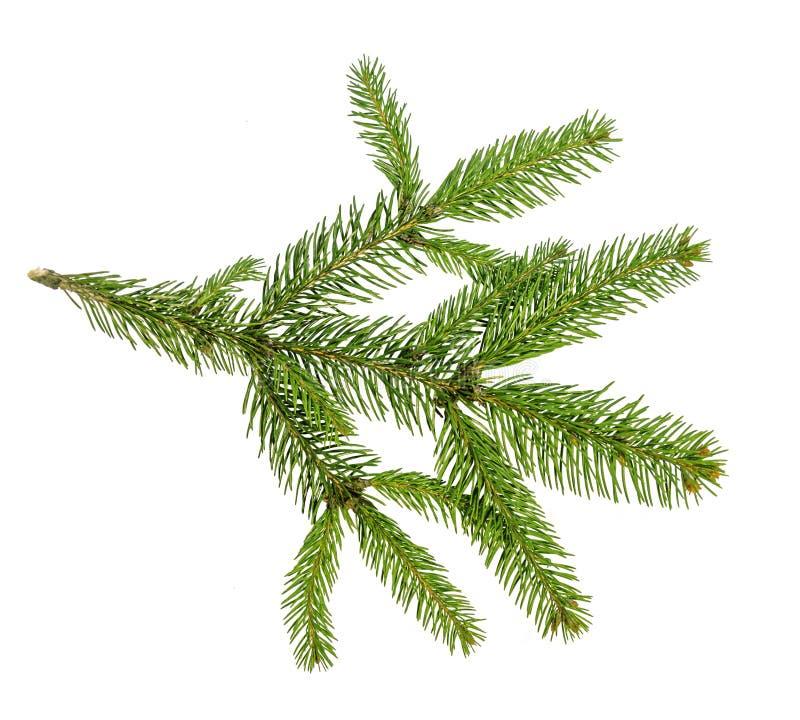 Ramos de árvore do Natal sobre o fundo branco foto de stock