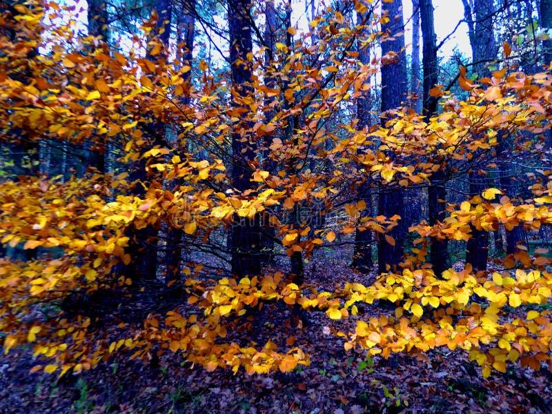 Ramos de árvore dourados da folha de Autum do sumário do carvalho imagens de stock royalty free