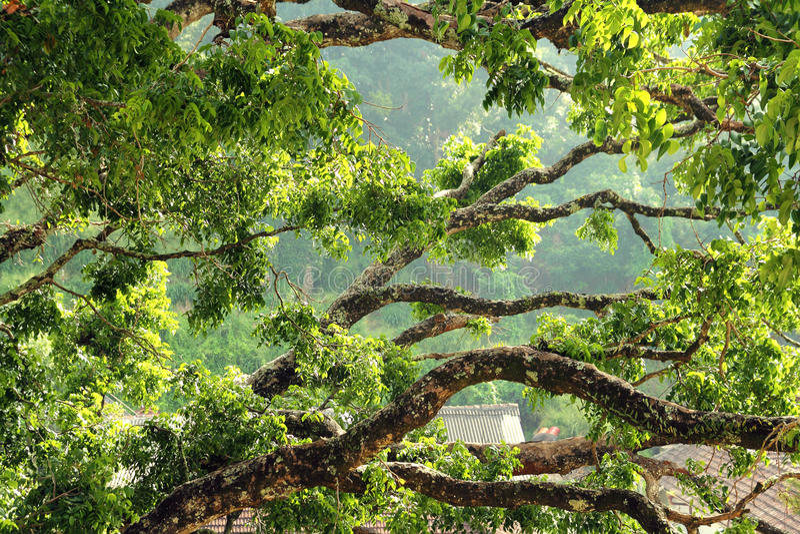Ramos de árvore enormes imagem de stock royalty free