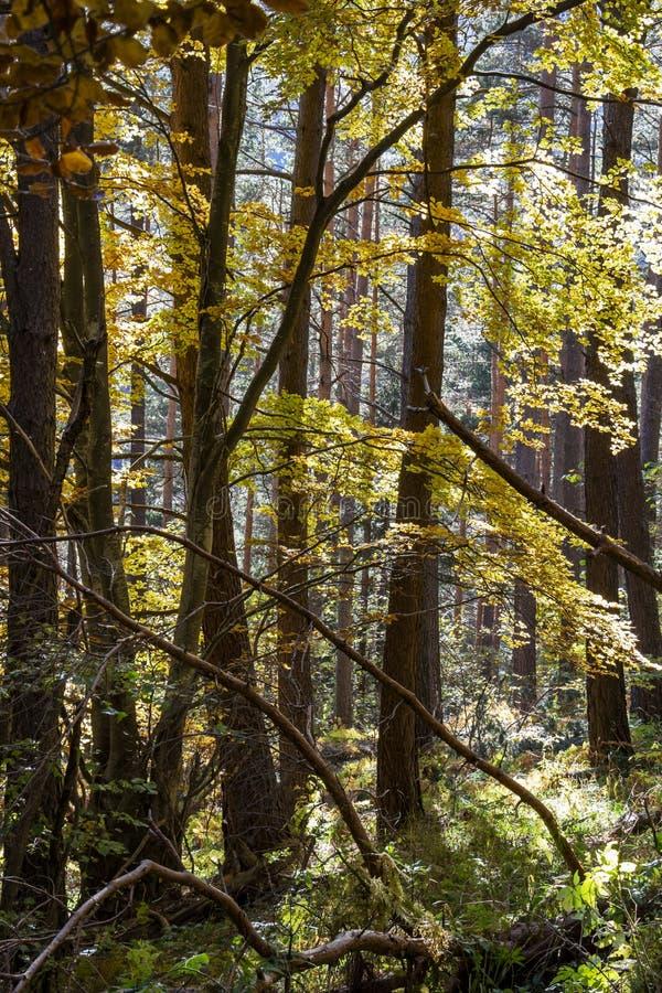 Ramos de árvore ensolarados do outono em uma floresta búlgara misturada densa da montanha imagem de stock