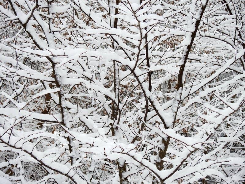 Ramos de árvore nevado bonitos, Lituânia foto de stock royalty free