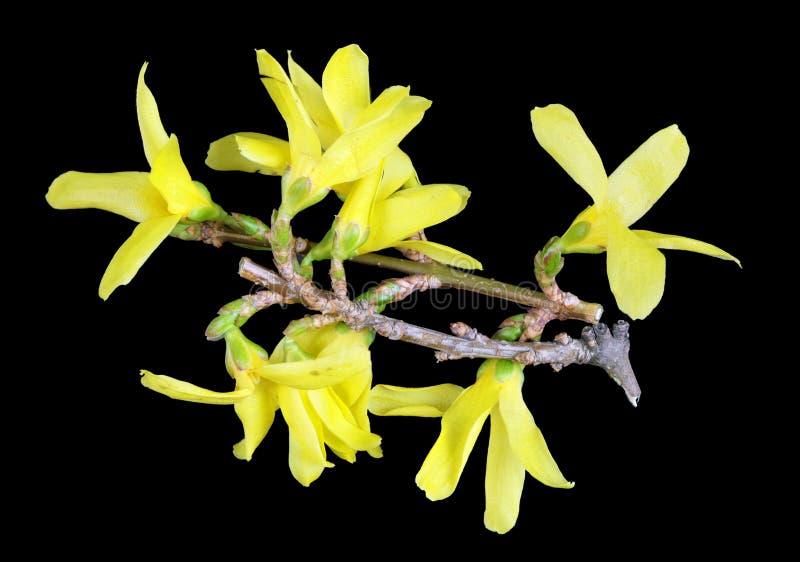 Ramos de April Forsythia arbusto da mola com preto isolado macro das flores amarelas imagem de stock royalty free