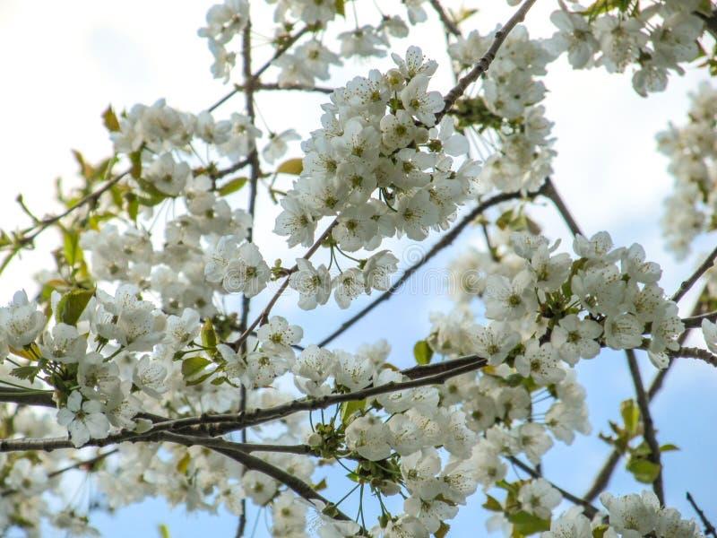 Ramos de florescência bonitos de uma árvore de cereja contra o céu azul da mola fotos de stock