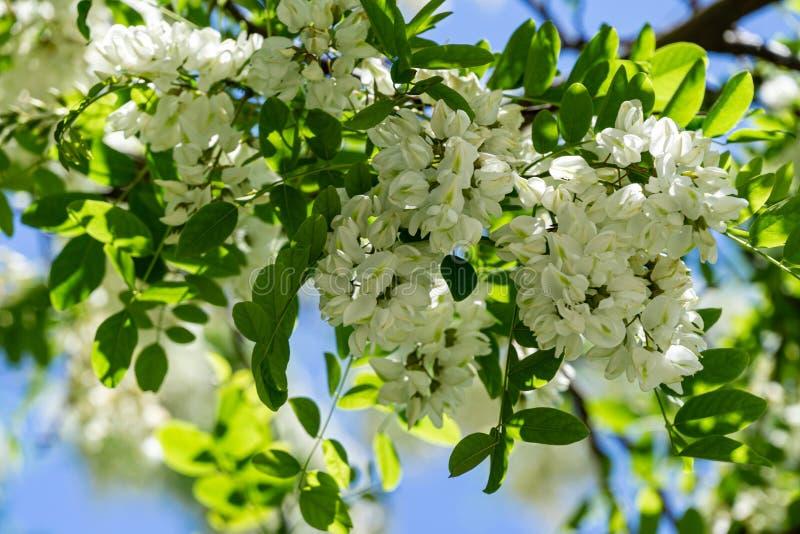 Ramos de florescência com as flores brancas dos locustídeo pretos do pseudoacacia do Robinia, acácia falsa na mola foto de stock