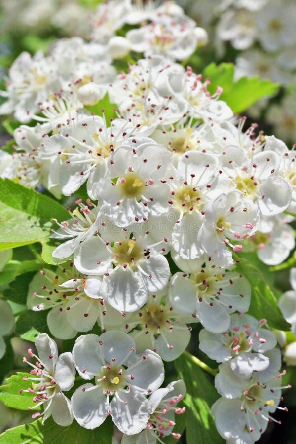 Ramos de maio da mola da árvore de ameixa selvagem de florescência com sma branco fotografia de stock