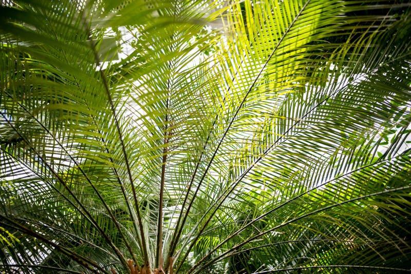 ramos de palmeira com folhas verdes imagens de stock