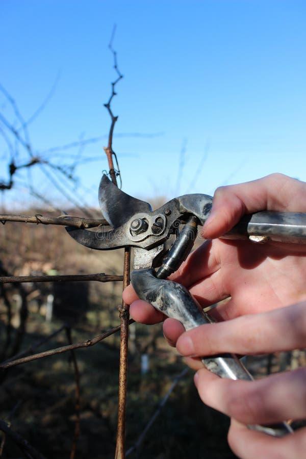 Ramos de poda do jardim das uvas na primavera foto de stock royalty free