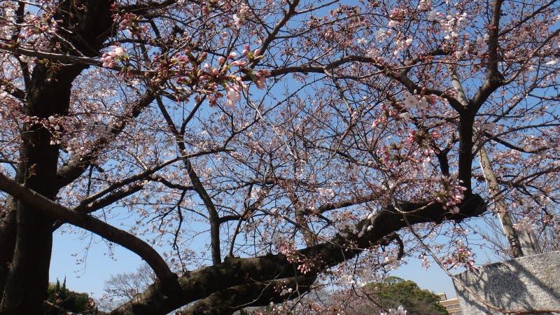 ramos de sakura da árvore imagem de stock royalty free