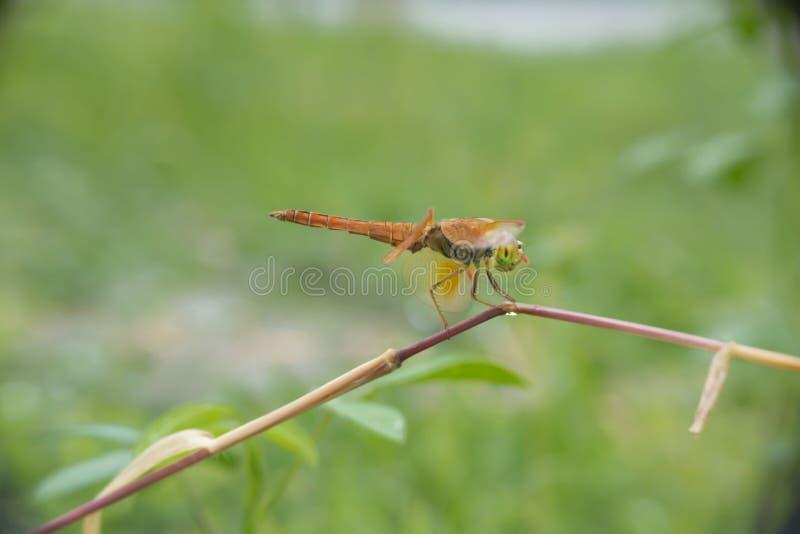 Ramos de travamento da grama da libélula foto de stock royalty free