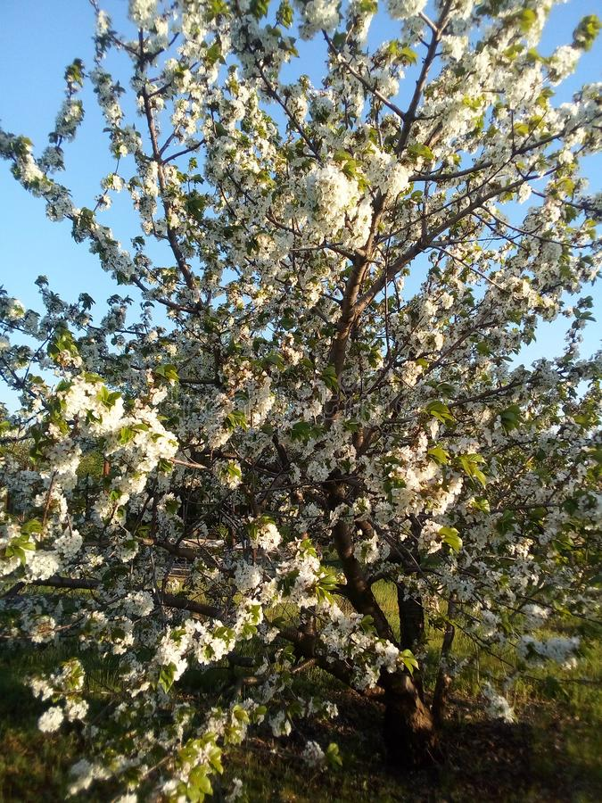 Ramos de uma árvore de Apple de florescência Haverá uma boa colheita! O despertar da natureza na primavera imagens de stock royalty free