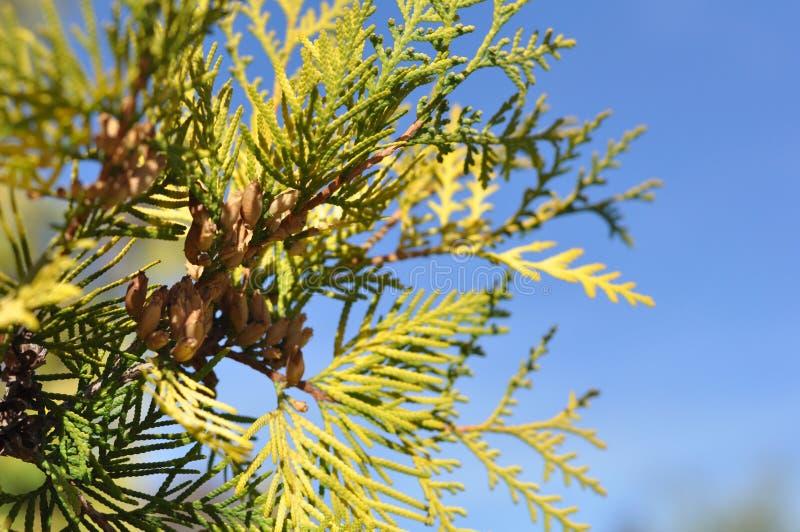 Ramos de uma árvore do ano novo imagem de stock royalty free
