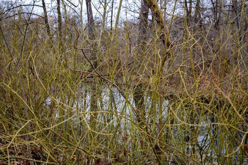 Ramos desencapados encaracolados do arbusto cobertos de vegetação pela costa do lago imagem de stock royalty free