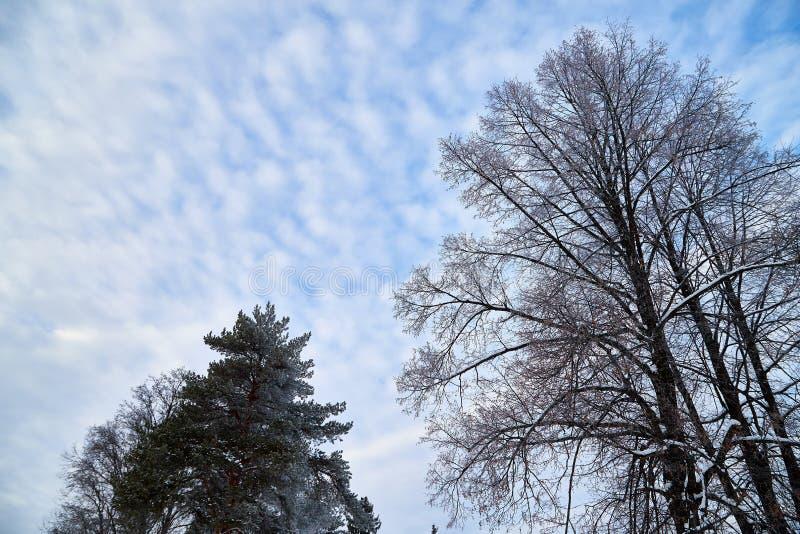 Ramos despidos de uma árvore e ramos do pinho contra o céu com nuvens brancas foto de stock