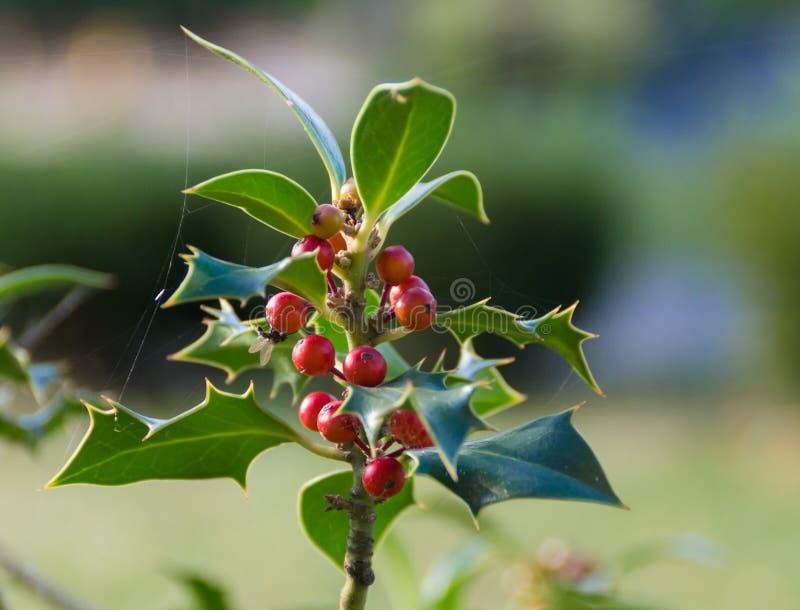 Ramos do azevinho com bagas, aquifolium do Ilex foto de stock
