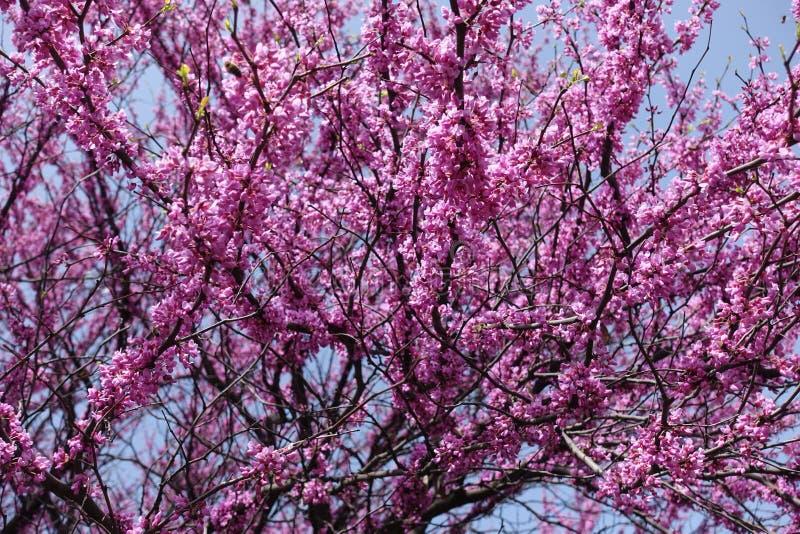 Ramos do canadensis do cercis na flor completa imagem de stock royalty free
