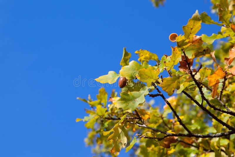 ramos do carvalho com as bolotas contra o céu azul foto de stock