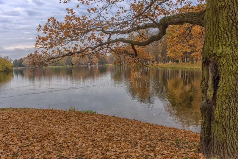Ramos do carvalho com folhagem de outono sobre o lago fotos de stock