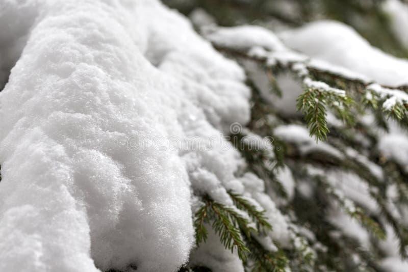 Ramos do pinho cobertos na neve fotografia de stock