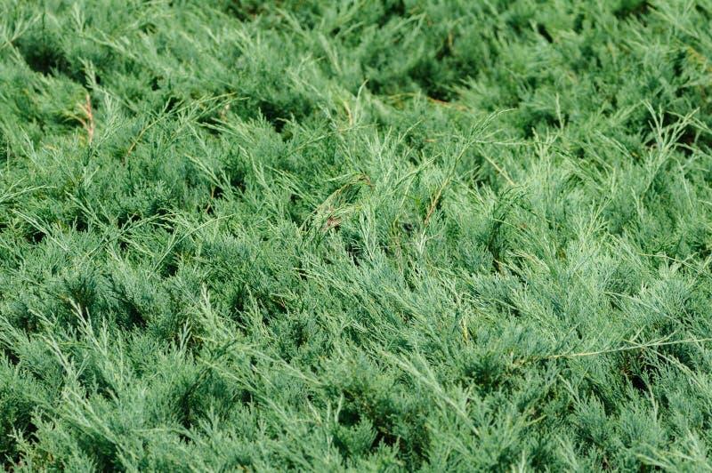 Ramos do zimbro, a planta conífera sempre-verde com agulha-como as folhas fotos de stock
