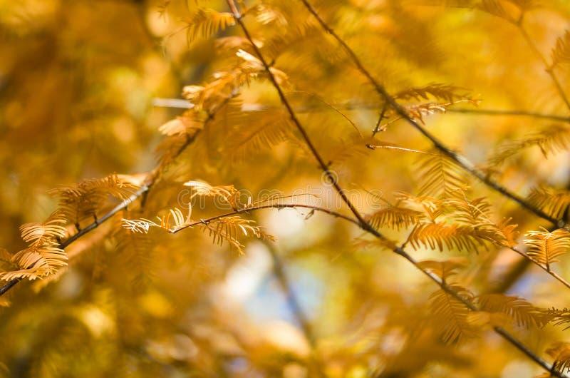 Ramos dourados de Autumn Displayed em Dawn Redwood Tree imagens de stock royalty free