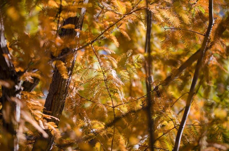 Ramos dourados de Autumn Displayed em Dawn Redwood Tree imagem de stock royalty free