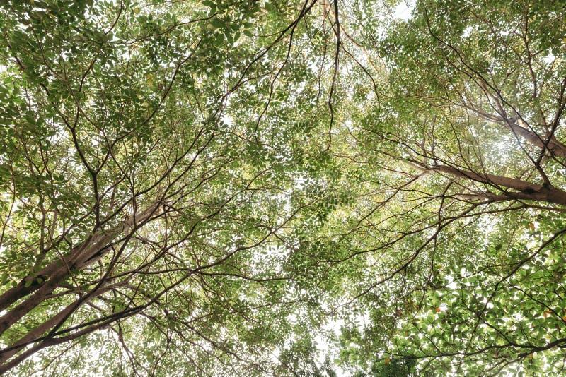 Ramos e folhas do verde da árvore grande com luz que olham abaixo da terra em Banguecoque, Tailândia imagem de stock royalty free