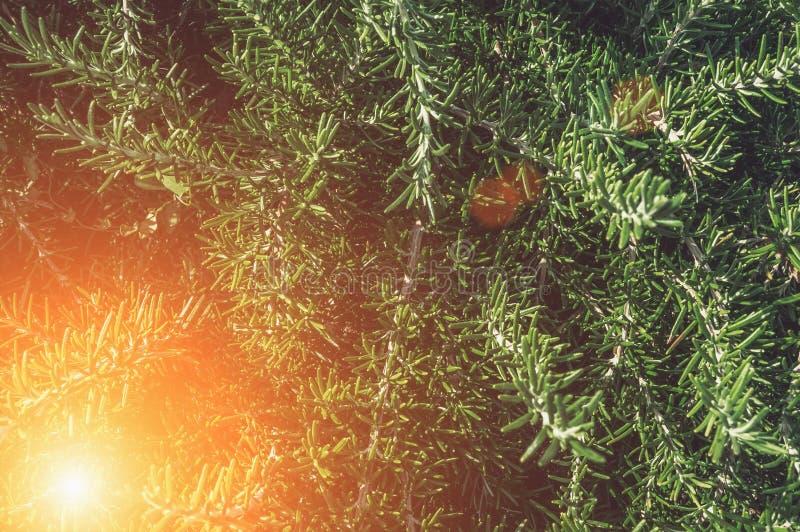 Ramos e folhas frescos dos alecrins Grama picante, especiarias Fundo Fim acima imagens de stock