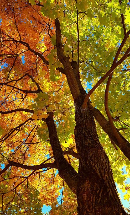 Ramos e tronco com as folhas amarelas e verdes brilhantes da árvore de bordo do outono contra o fundo do céu azul Vista inferior fotografia de stock