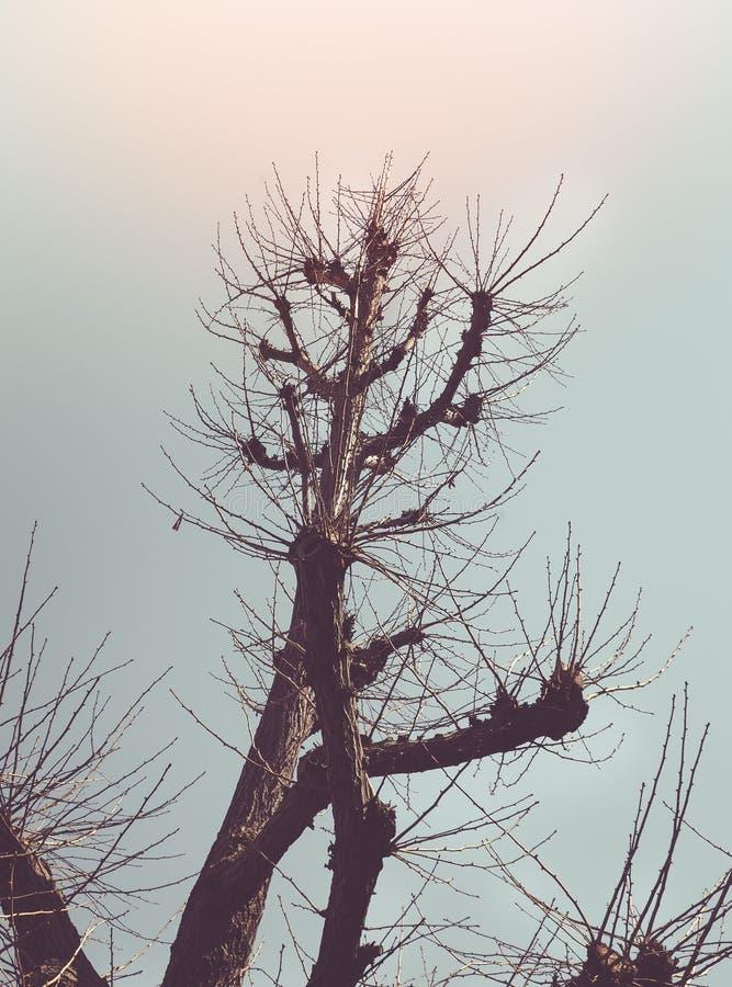 Ramos Leafless do pinheiro contra o céu imagem de stock