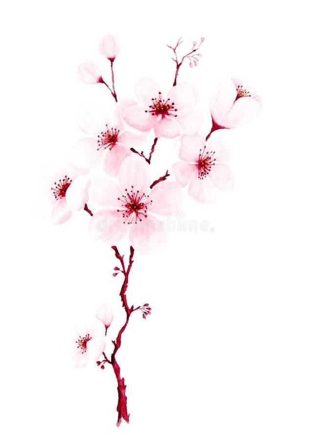 Ramos pintados à mão da flor de cerejeira da aquarela ilustração stock