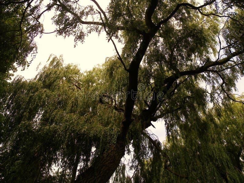 Ramos superiores de uma árvore de salgueiro verde fotografia de stock royalty free