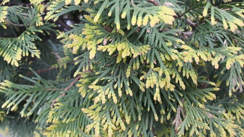 Ramos verde-amarelos do arbusto de zimbro fotografia de stock royalty free