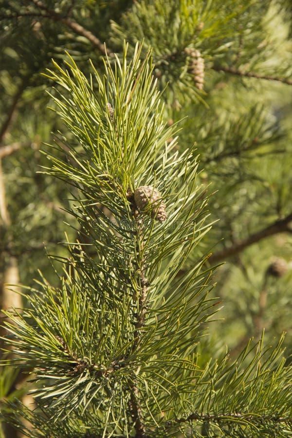 Ramos verdes do pinho com cones imagens de stock