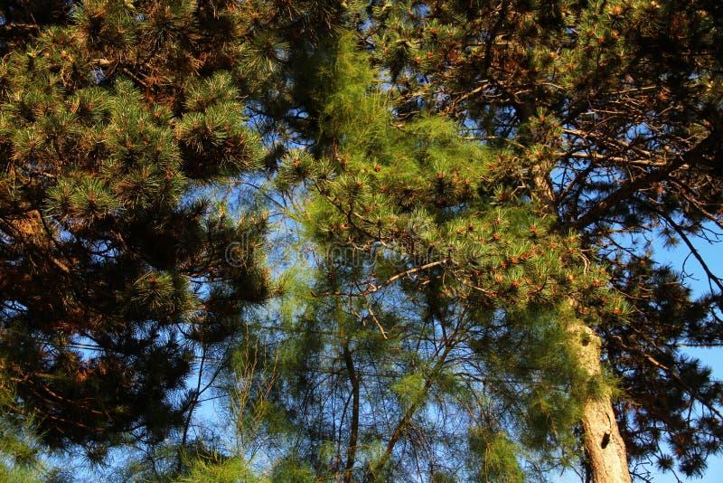 Ramos verdes do pinho com os cones novos contra o céu azul imagens de stock