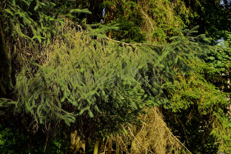 Ramos verdes Spruce na luz solar em uma floresta densa fotografia de stock royalty free