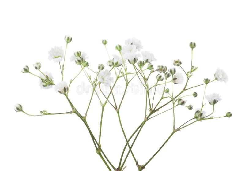 Ramoscelli con i fiori del Gypsophila isolati su fondo bianco fotografie stock libere da diritti