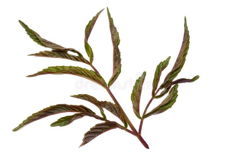 Ramoscelli con le foglie rosse isolate su fondo bianco fotografie stock libere da diritti
