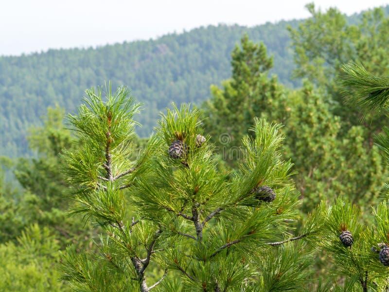 Ramoscelli del cedro su un fondo della foresta verde punteggiato con i coni fotografia stock