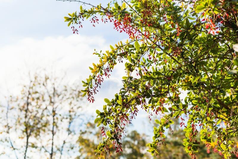 Ramoscelli del cespuglio del crespino con i frutti maturi nella sera fotografia stock libera da diritti