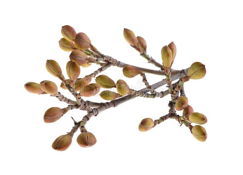 Ramoscelli del germoglio di mas di Cherry Cornus della cornalina/albero di corniolo/isolato sopra bianco fotografia stock libera da diritti