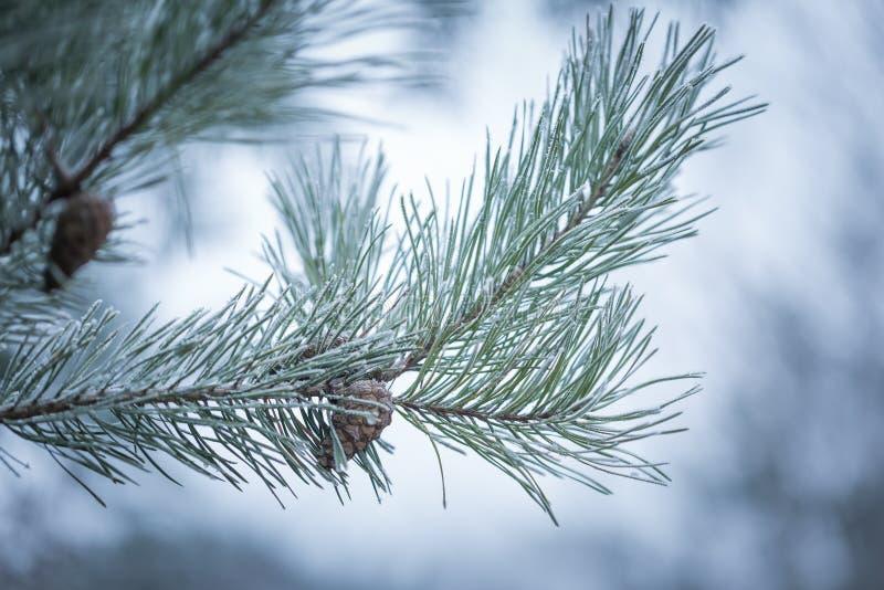 Ramoscelli del pino nell'inverno fotografia stock