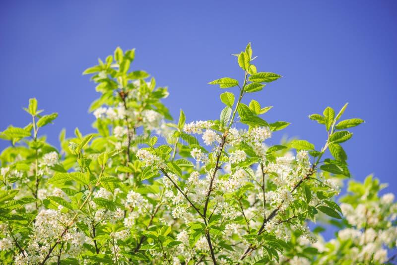 Ramoscelli dell'albero della uccello-ciliegia contro cielo blu fotografie stock libere da diritti