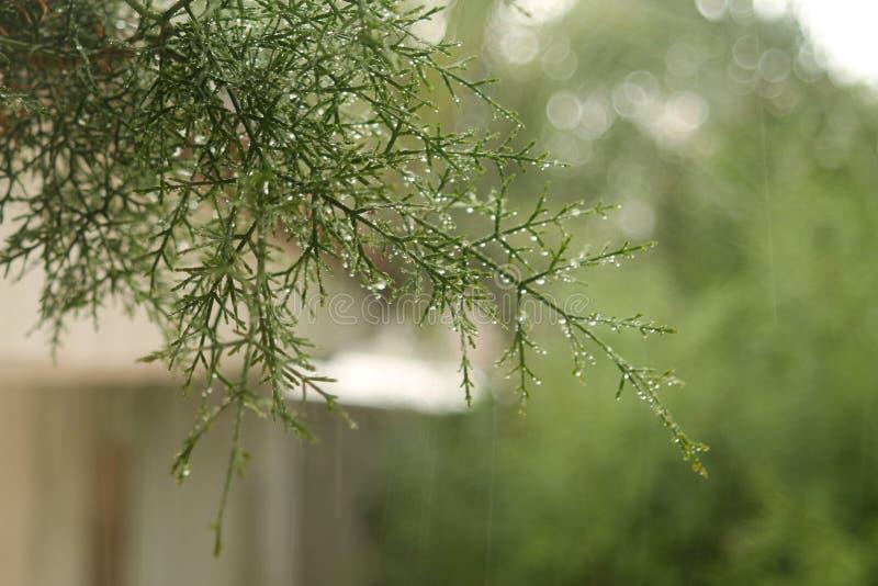 Ramoscelli dell'albero di cedro con le gocce di pioggia immagini stock libere da diritti