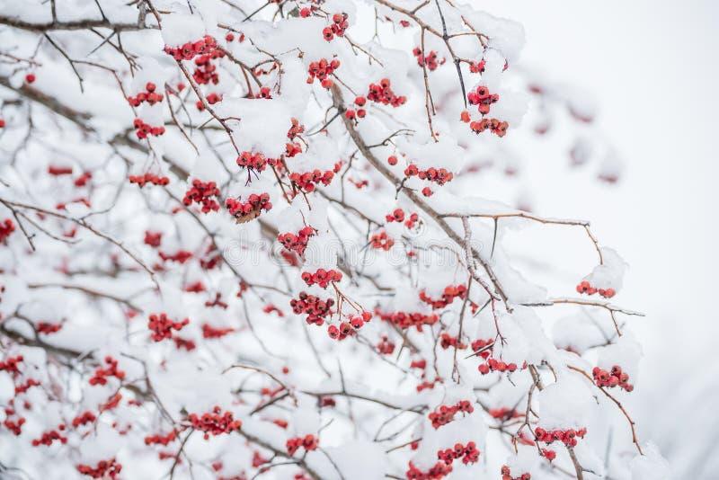 Ramoscelli di un albero con le bacche rosse nella neve immagine stock libera da diritti