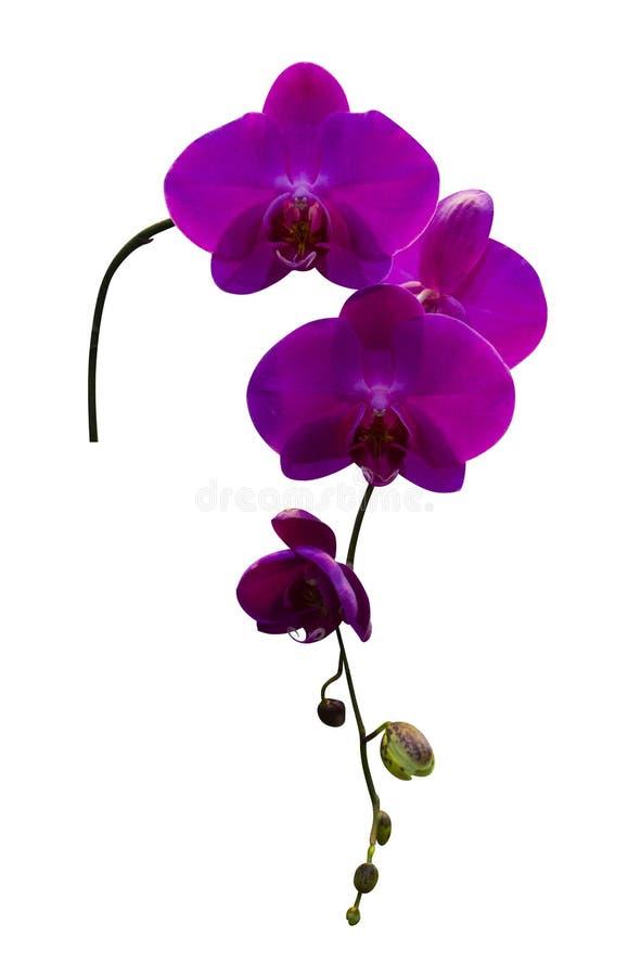 Ramoscello dei fiori dell'orchidea porpora isolati su fondo bianco fotografie stock libere da diritti