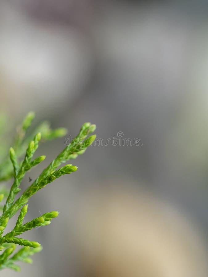 Ramoscello del Arborvitae sui precedenti immagini stock